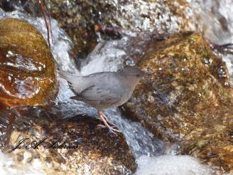 Dipper in the spawning channel