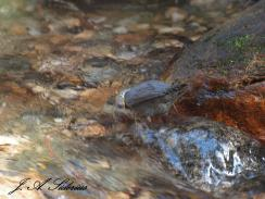 Dipper submerging its head to feed