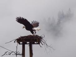 Bald Eagle at the new nest