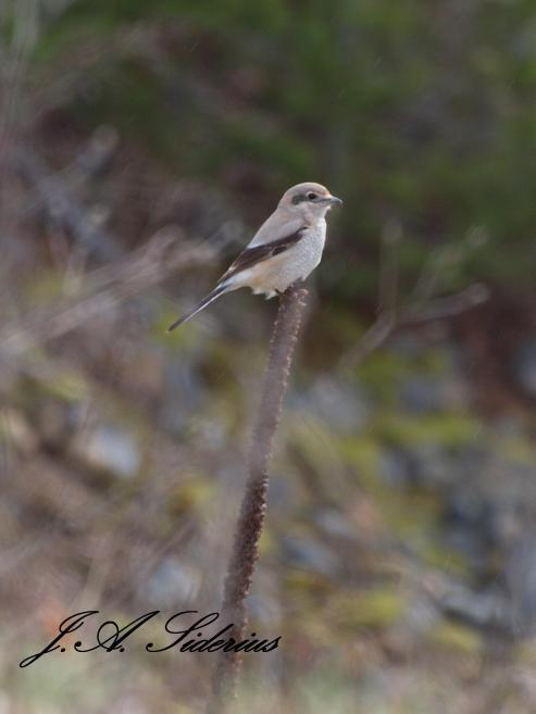 This Northern Shrike lets me get just close enough...
