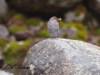 Dipper with nest-building material