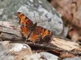 Early Spring Tortoiseshell