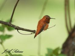 My first Rufous Hummingbird sighting of 2015