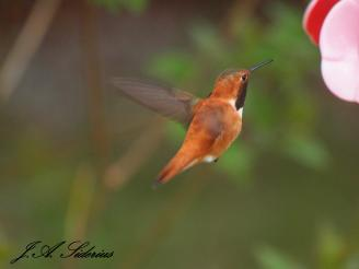 Early Rufous Male