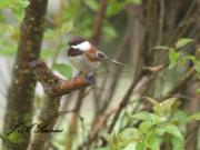 Chestnut backed Chickadee at my feeder.