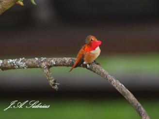 Male Rufous Hummingbird showing off