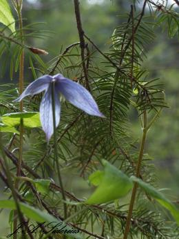 Clematis in foreground