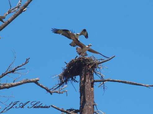 Ospreys at the nest.