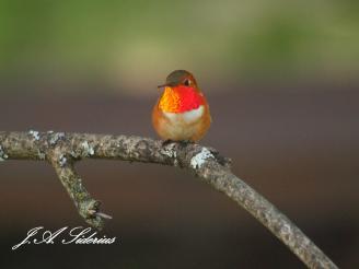 Showoff Rufous Hummingbird Male