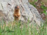 Curious Ground Squirrel