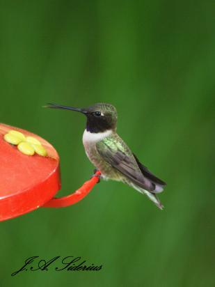 Black-chinned Hummingbird Male