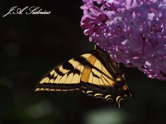 Western Tiger Swallowtail wing in the sun