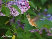 Rufous Hummingbird Female finding pollen