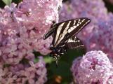 Pale Swallowtail feeding on lilac nectar