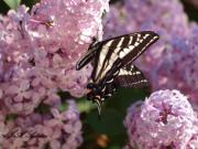 Pale Swallowtail feeding on lilac nectar