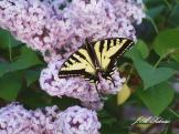 Western Tiger Swallowtail on lilac flowers