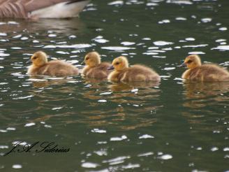 Gaggle of goslings