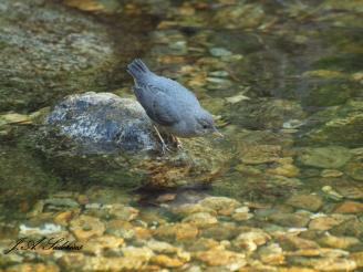 On its own - Dipper fledgling