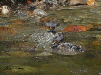 Dipper fledglings begging from swimming parent