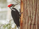 Pileated Woodpecker: Business as usual: hunting ants in winter