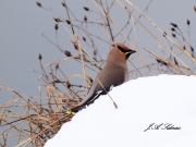 Bohemian Waxwing in snow