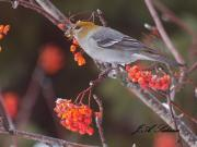 Female Pine Grosbeak feeding on Mountain Ash Berries