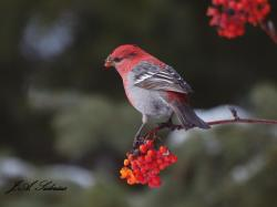 Red Bird on Red Berries