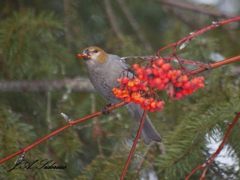 Female Pine Grosbeak and Mountain Ash Berries