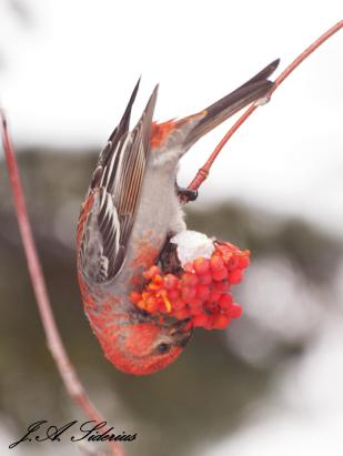 Pine Grosbeak and Mountain Ash Berries