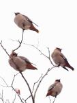 A Flock ofBohemians