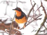 Varied Thrush in Snowy Apple Tree
