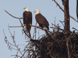 Eagles at the nest