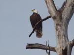 Bald Eagle at thenest