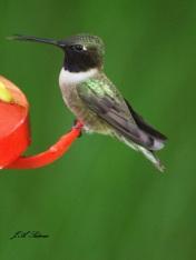 Black-chinned Hummingbird male