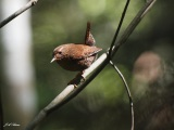 Displaying Wren