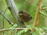 Fledlging Wren: second young bird