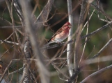 Cassin's Finch - an uncommon visitor
