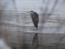 A Great Blue Heron on a frozen Kokanee Creek