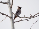 Bohemian Waxwing - a winter visitor
