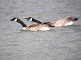 Quarrelsome Canada Geese