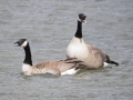 Canada Geese in a spring quarrel with another pair of geese