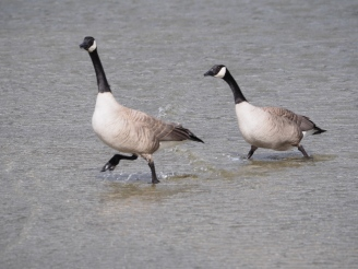 Hurrying to head off another goose pair