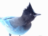 Steller's Jay on snow