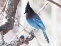 Steller's Jay finding food in the early spring snow