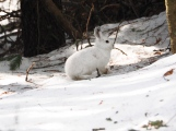 Spring Snowshoe Hare