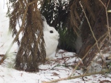 Snowshoe Hare - still in winter white