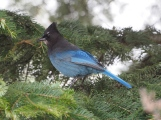 Steller's Jay on Grand Fir