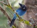 Steller's Jay waiting for an opportunity
