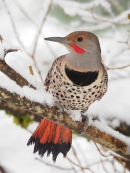 Northern Flicker at the Feeder