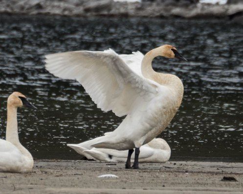 Trumpeter Swan at Kokanee Creek